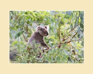 Amongst the Leaves Koala  Australian Wildlife Print