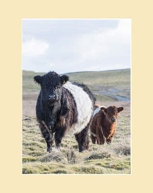 Belted Galloway Cow and Calf Print