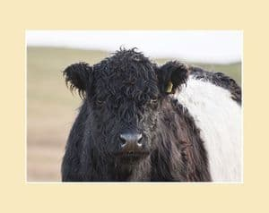 Belted Galloway Cow Face Print