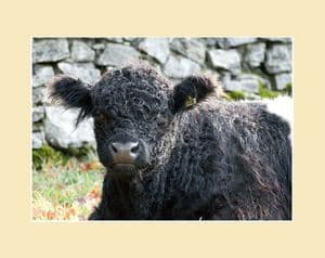 Belted Galloway Cow Lying Down Print