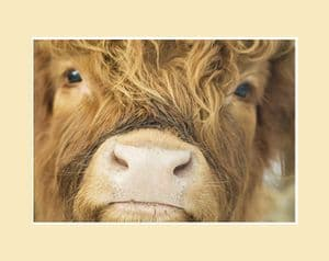 Close Up Calf Highland Cow Print