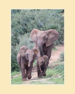 Coming to Water African Elephant Print