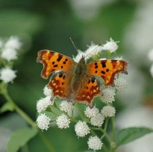 Comma Butterfly  Square Greetings Card