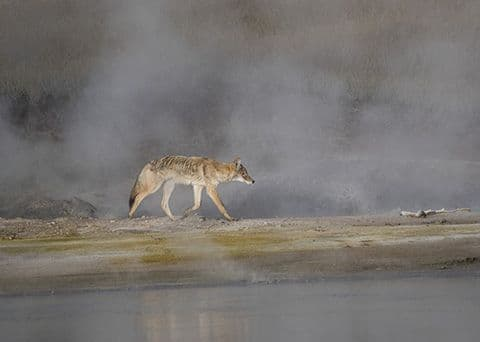 Coyote 'Out of the Steam' Large Unmounted Print