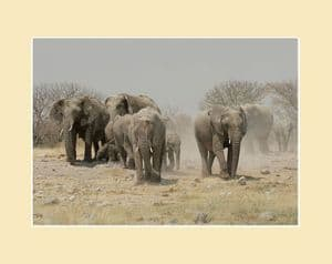 Elephant Herd Etosha National Park Print