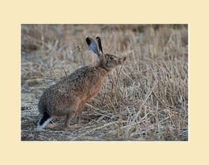 Harvest Hares Brown Hare on Stubble Print