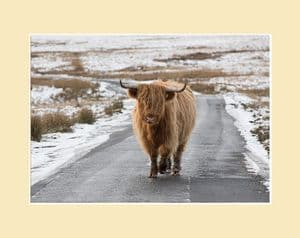 Highland Cow Print - On The Road Again
