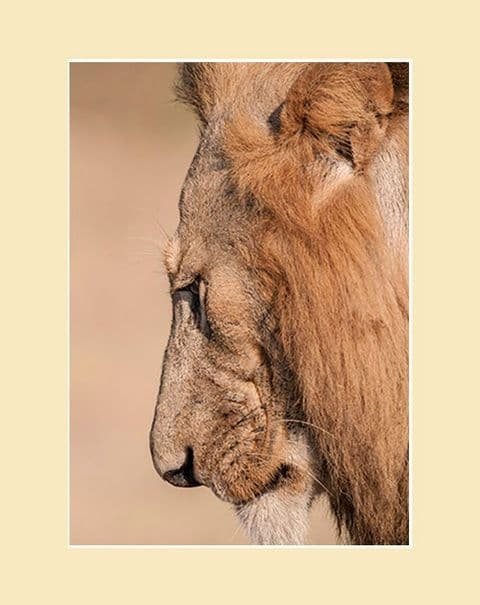 I am the Lion African Lion Print