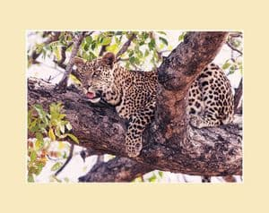Leopard Photographic Print