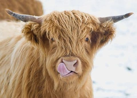 Licky Cow Large Unmounted Highland Cow Print
