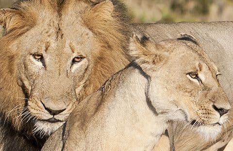 Lion Pair Lion and Lioness Large Unmounted Print
