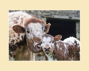 Longhorn Cow and Calf Print