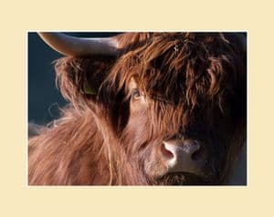 Moody Cow Highland Cow Print
