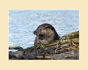 Otter By River Photo Print