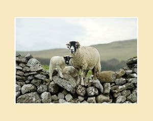 Over the Wall Swaledale Sheep Landscape Print