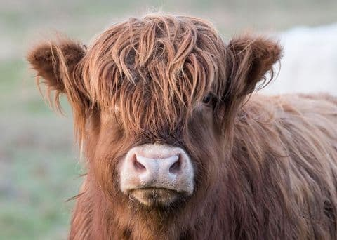 Red Calf Large Unmounted Highland Cow Print