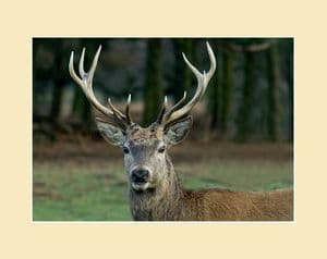 Red Deer Stag Head Print