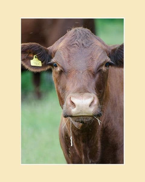 Red Poll Cow Print