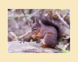 Red Squirrel on Log Print