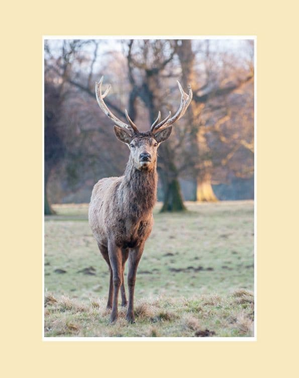 Red Stag Portrait Print