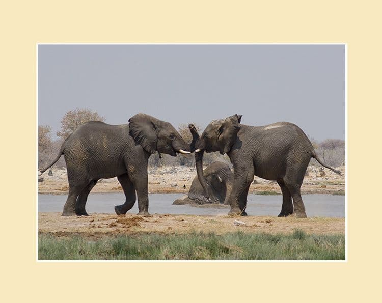 Sparring- African Elephant Print