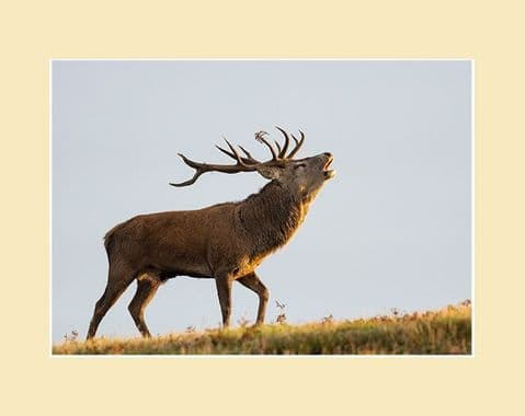 The Bellow - Red Deer Stag Print