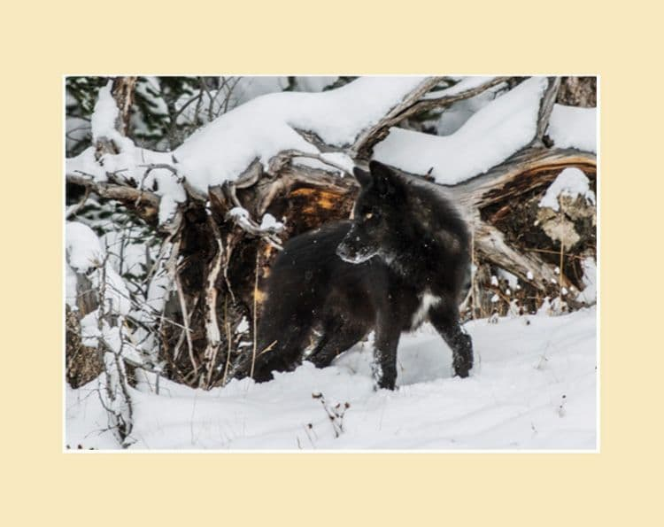 The Wild Wolves of Alberta - Black Wolf Standing Print