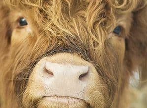 Up To The Lens Large Unmounted Highland Cow Print
