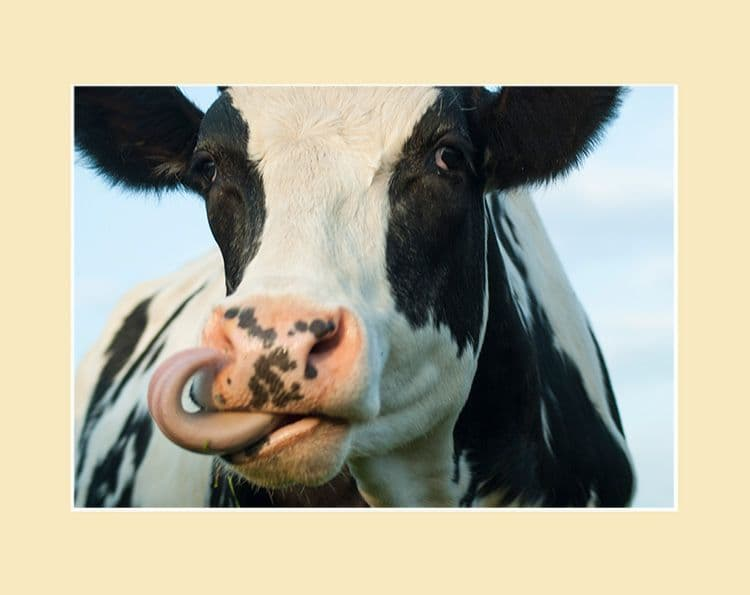Westwood Cattle - Black and White Licky Cow Print