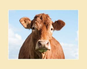 Westwood Cattle - Limousin Cow Face Print