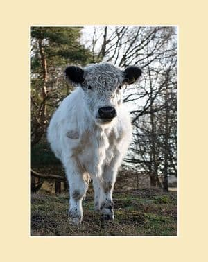 White Galloway Calf Print