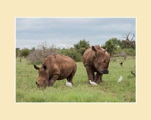 White Rhino and Calf Print